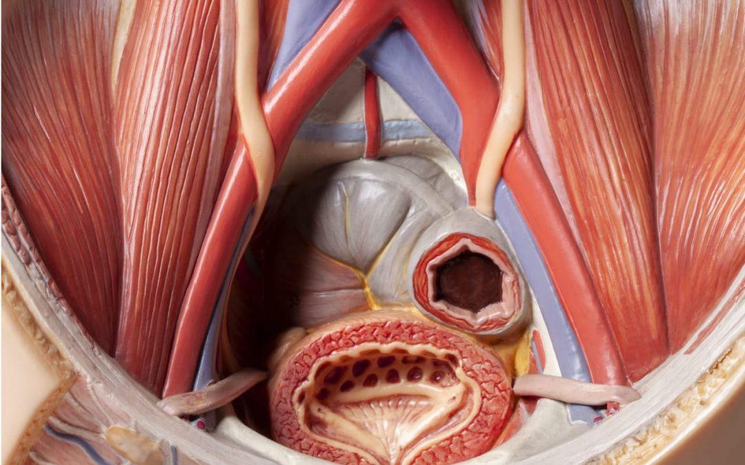 Cours L2 – Anatomie & Sémiologie urologique (item 121) – Dr M. Durand, MD, PhD